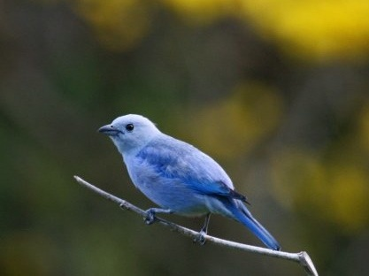 Blue-gray Tanager - Morgan Tingley