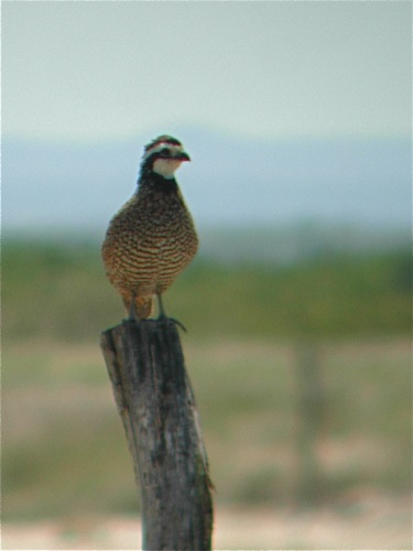 Northern Bobwhite - Michael Retter