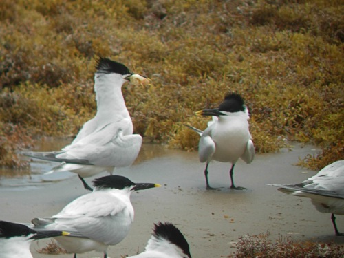 Sandwich Terns - Michael Retter