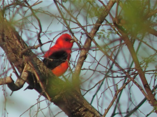 Scarlet Tanager - Michael Retter