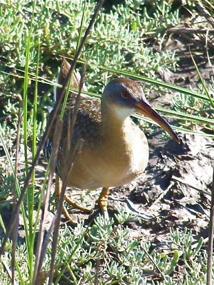 Clapper Rail - Stuaffer Miller